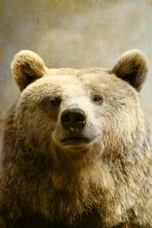 Brown bear portrait on old paper background