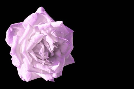 Purple and white rose flower