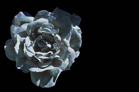 Blue and white rose Archivio Fotografico