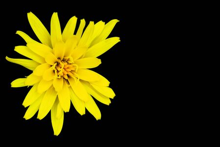Yellow flower isolated on black Archivio Fotografico