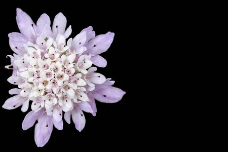 White and purple flower isolated on black