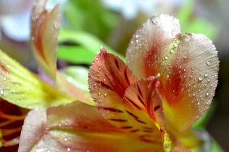 lilia: Fondo abstracto de la flor con p�talos de Lilia. Foto de archivo