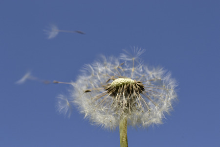 semen: Deliberate dandelion on the sky background. Stock Photo