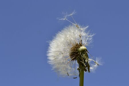 deliberate: Deliberate dandelion with flying seeds on the sky background. Stock Photo