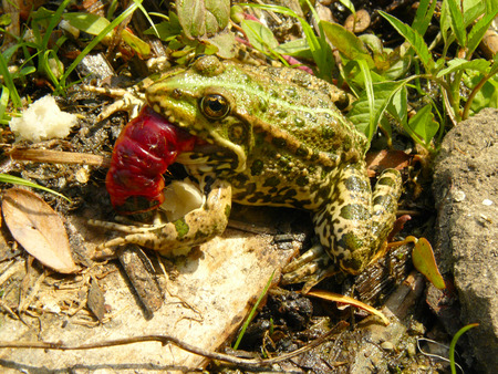 The little frog with big red caterpillar. 免版税图像