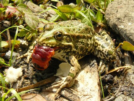 anuran: The little frog with big red caterpillar. Stock Photo