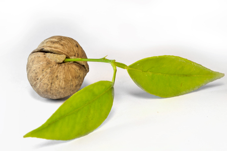 Nut and wet leaves on the white background. Stock Photo
