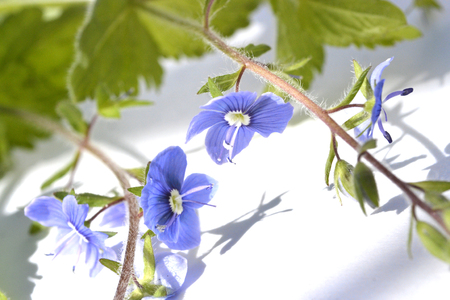 blue green background: Green branch with blue flowers on white background.
