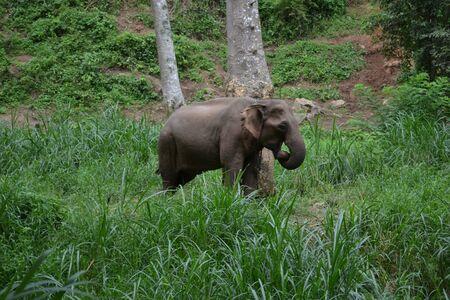 Thai elephant Stock Photo