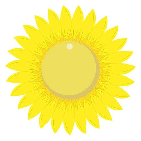 Vibrant sunflower blossom isolated on white background