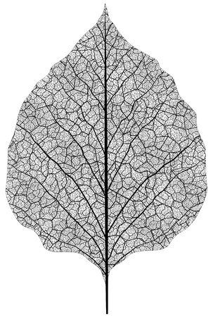 tree leaf: manually drawn leaf skeleton. Eps8 vector  Illustration