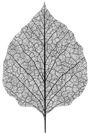 manuell gezeichnet Blatt Skelett. Eps8 Vektor