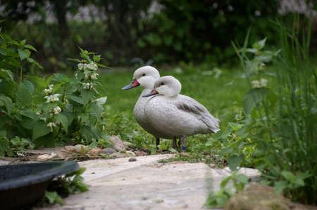 bahama: Bahama Ducks Stock Photo