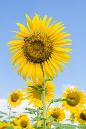 Sunflower in the field over blue sky photo