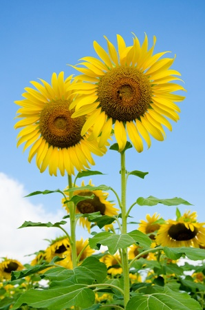 Sunflower in the field over blue sky Stock Photo - 13977849