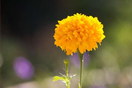marigold flower Фото со стока