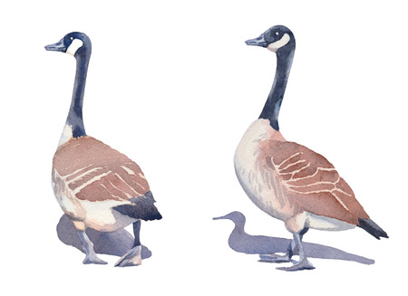 Hand drawn set of two Canada geese on a white background.  illustration. Фото со стока