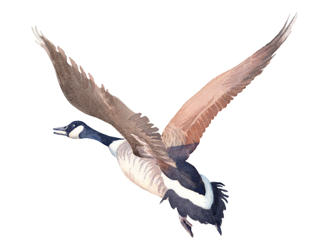 Hand drawn sketch of Flying Canada goose on a white background.  illustration.