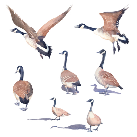 Hand drawn set of Canada geese on a white background.  illustration.