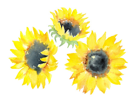 Hand drawn watercolor sketch of three sunflowers on a white background. Illustration.