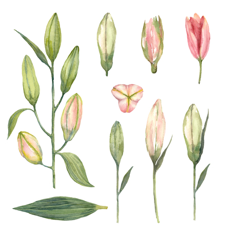 Set of Pink Stargazer lily buds on a white background. Hand drawn watercolor illustration.
