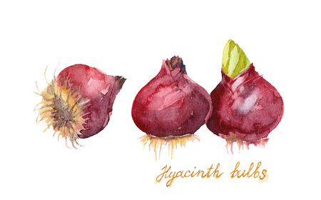 Three Purple Hyacinth Bulbs on a white background. Hand drawn watercolor illustration.. Banco de Imagens