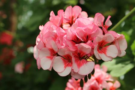 Pelargonium Divas Star. Closeup of a blooming light pink geranium.