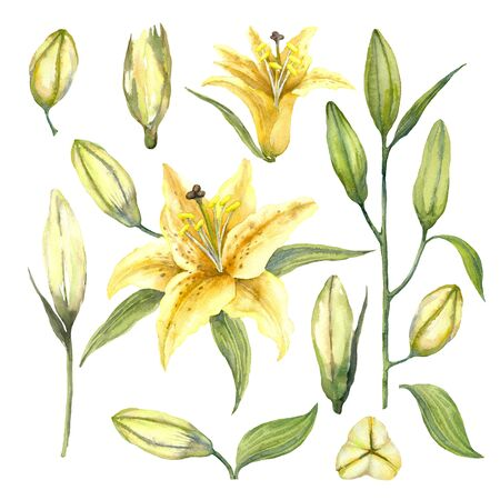 Set of Yellow Oriental Trumpet Lilium 'Manissa'. Yellow flowers of lilium and lily buds on a white background. Watercolor illustration.