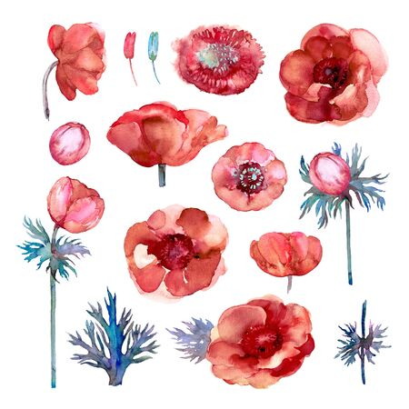 Botanical Set of Red Anemone. Flowers, buds and leaves on a white background. Watercolor illustration.