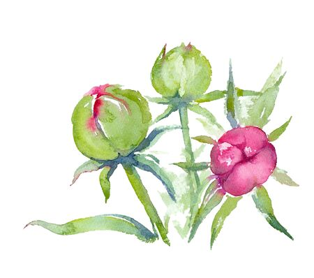 Dr. Alexander Fleming Peony. Pink peony buds on a white background. Greeting card. Watercolor illustration.