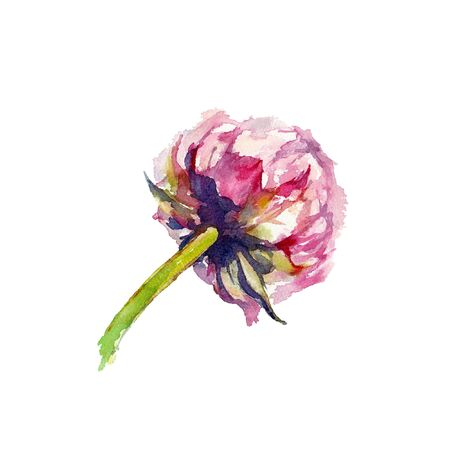 Peony Walter Faxon. Back view of a vivid pink bud of peony on a white background. Watercolor illustration. Imagens