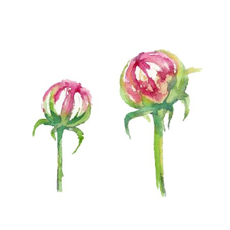 Peony Candy Stripe. Two blooming peony buds on a white background. Greeting card. Watercolor illustration.