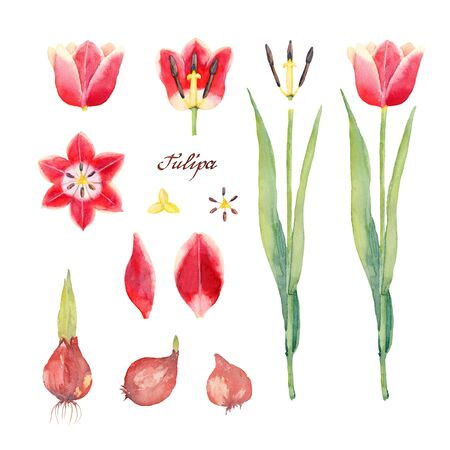 Botanical Set of Tulip Leen van der Mark. Flower, bud, bulbs, petals, pistil and stamens of yellow red tulip on a white background. Watercolor illustration. Imagens