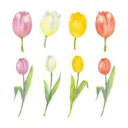 Triumph Tulip Set. Purple, white, yellow and red flowers of tulip on a white background. Watercolor illustration. Imagens
