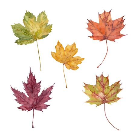 Set of fall leaves of sugar maple, silver maple, red maple, sycamore maple and hedge maple on a white background. Watercolor illustration.