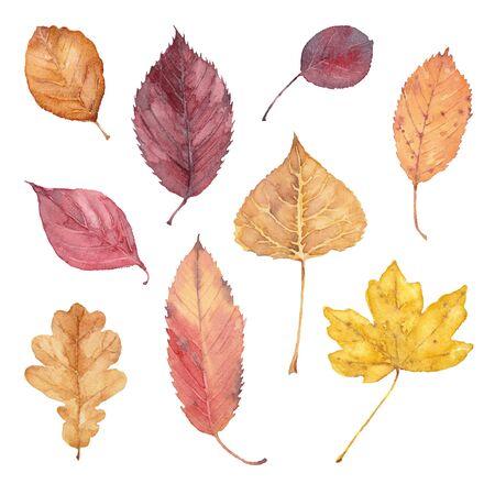 Set of fall leaves of burr oak, alder buckthorn, elm, smoke tree, beech, hornbeam, flowering dogwood, maple and aspen on a white background. Watercolor illustration.