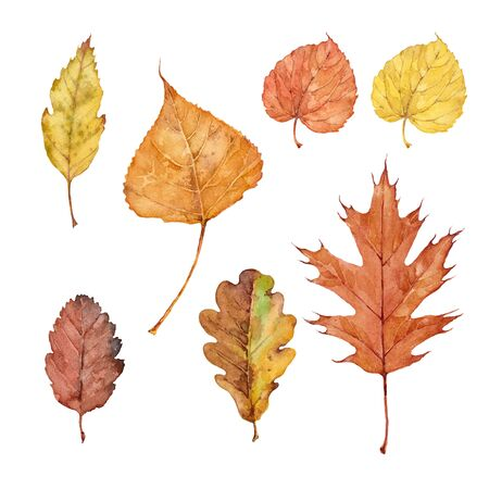 Set of fall leaves of pin oak, boxelder maple, birch, tilia cordata, bur oak and swedish whitebeam on a white background. Watercolor illustration. Stockfoto
