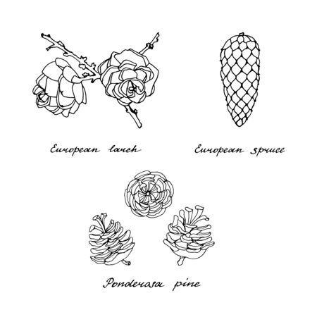 Ponderosa pine, European spruce and European larch. Black and white set of cones of conifer trees on a white background. Vintage hand drawn collection of holiday decor and greeting cards. Vector illustration of winter symbols. Ilustração