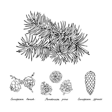 Coniferous branch and cones of Ponderosa pine, European larch and European spruce. Black and white set on white background. Vintage hand drawn collection of holiday decor and greeting cards. Vector illustration of winter symbols. Ilustração
