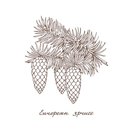 European spruce. Graphic branch with three cones of conifer trees on white background. Vintage hand drawn collection of holiday decor and greeting cards. Vector illustration of winter symbols.