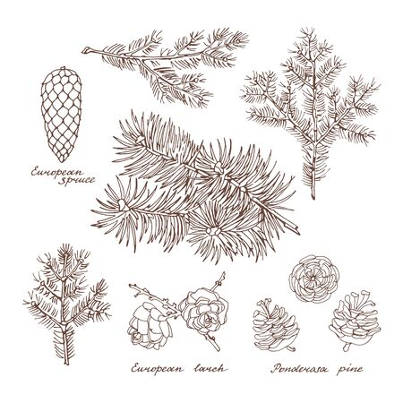 Ponderosa pine, European larch and European spruce. Graphic set of branches and cones of conifer trees on white background. Vintage hand drawn collection of holiday decor and greeting cards. Vector illustration of winter symbols. Ilustração