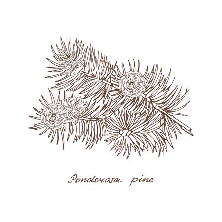 Ponderosa pine. Graphic branch with three cones of conifer trees on white background. Vintage hand drawn collection of holiday decor and greeting cards. Vector illustration of winter symbols. Ilustração
