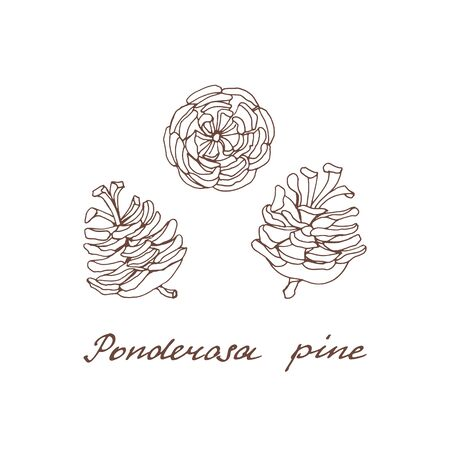 Ponderosa pine. Graphic set of cones of conifer trees on a white background. Vintage hand drawn collection of holiday decor and greeting cards. Vector illustration of winter symbols.