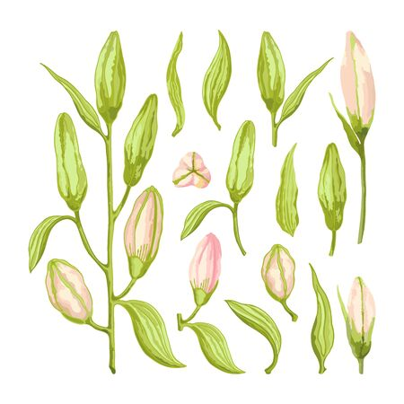 Pink Lily. Set of a bush, leaves and buds on a white background. Hand-drawn collection of festive decor and greeting cards. Vector illustration. Ilustração