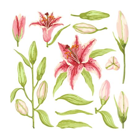 Pink-Red Lily. Big set of branches, leaves, flowers and buds on a white background. Hand-drawn collection of festive decor and greeting cards. Vector illustration.