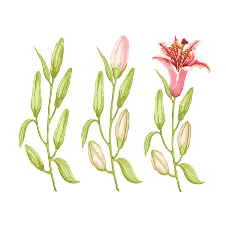 Three branches of pink-red lilies on a white background. Three stages of flowering. Vector illustration.