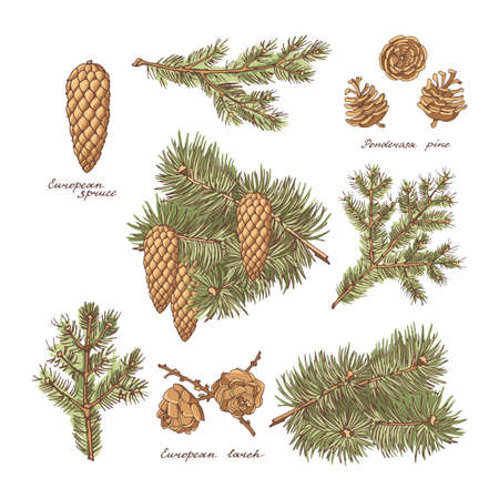 Big set of European larch, spruce and cones of Ponderosa pine on a white background. Vintage hand-drawn set. Vector illustration.