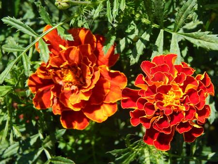 finocchio: Fiori close-up in giardino per sfondo