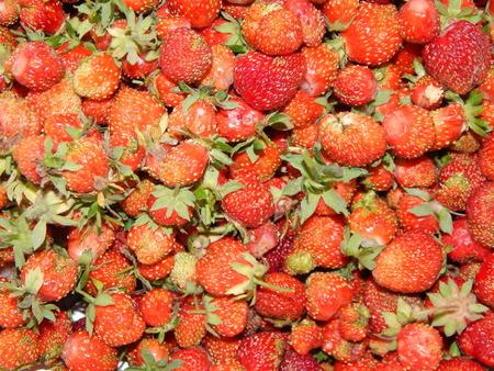 Recoge las fresas en el jardín y el huerto