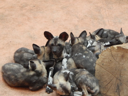 A flock of hyenas in the aviary on the floor